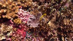Bennett's butterflyfish feeding, Chaetodon bennetti, HD, UP18631 Stock Footage