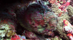 Reef stonefish swimming, Synanceia verrucosa, HD, UP18670 Stock Footage