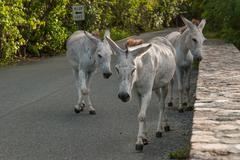 Wild Donkeys Roaming Streets - stock photo