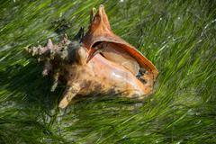 Orange Conch in Sea Grass Stock Photos