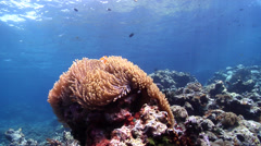Clownfish swimming on shallow coral reef, Amphiprion percula, HD, UP18803 Stock Footage