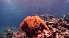 Clownfish swimming on shallow coral reef, Amphiprion percula, HD, UP18805 Stock Footage