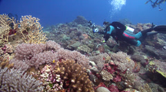 Spotted porcupine fish swimming on beautiful healthy and diverse reef, Diodon Stock Footage