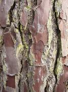 Stock Photo of Bark of the Maritime Pine