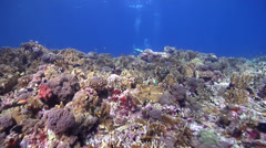 Buddy team of scuba divers swaying on beautiful healthy and diverse reef in Stock Footage