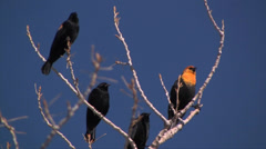 Yellow-headed Blackbird and red-winged blackbirds share a branch Stock Footage
