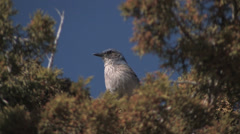 A western Scrub Jay surveys the land at Tent Rocks National monument Stock Footage