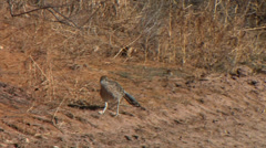 Stock Video Footage of A Roadrunner searches for food at Bosque del Apache National Wildlife refuge