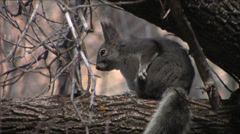 Kaibab Squirrel cleans itself on a branch at Bandolier National Monument Stock Footage