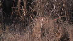 Ringneck Pheasant walking in dry glass.  Stock Footage