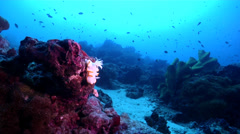 Yellow edge white head flapper slug walking on deep coral reef, Glossodoris Stock Footage