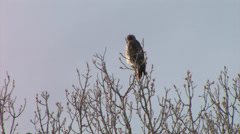 Red-tailed Hawk sits in tree looking for prey in new Mexico Stock Footage