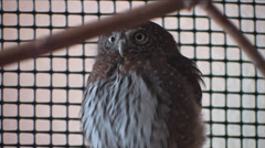 A Pygmy Owl looks around at The Wildlife Center in Espanola, New Mexico Stock Footage