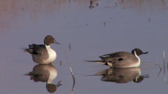 Stock Video Footage of Pintail Ducks preening at Bosque del Apache National Wildlife refuge