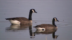 Canada Geese on water at Bosque del Apache National Wildlife Refuge Stock Footage