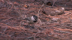 Mountain Chickadee searches for food at Bandelier National Monument Stock Footage