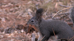 Kaibab Squirrel grabs nesting material in its mouth in New Mexico Stock Footage