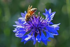 Honey bee collecting pollen - stock photo
