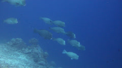 Bumphead parrotfish swimming and schooling on deep coral reef, Bolbometopon Stock Footage