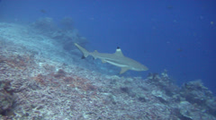 Black-tip reef shark swimming on deep coral reef, Carcharhinus melanopterus, HD, Stock Footage
