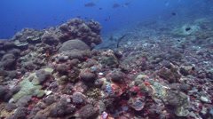 Grey reef shark swimming on coral reef, Carcharhinus amblyrhynchos, HD, UP19064 Stock Footage