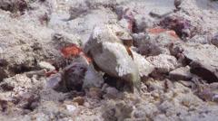 Stock Video Footage of Fish | Scorpionfish | False Stonefish | Wobbling | Medium Shot