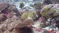 Orangebanded coralfish swimming, Coradion chrysozonus, HD, UP19101 Stock Footage