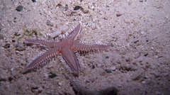 Comb sea star burying at night, Astropecten sp., HD, UP19112 Stock Footage