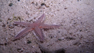 Stock Video Footage of Echinoderms | Sea Stars | Comb Sea Star | Burying | Medium Shot