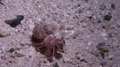 Coconut shell octopus walking at night, Amphioctopus marginatus, HD, UP19116 - stock footage