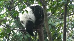 Panda in Chengdu Sichuan China 4 handheld Stock Footage