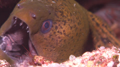 Giant moray cleaning and being cleaned, Gymnothorax javanicus, HD, UP19149 Stock Footage