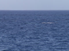 Humpback whale, Megaptera novaeangliae, HD, UP19176 Stock Footage