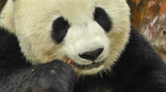 Panda in Chengdu Sichuan China 8 handheld Stock Footage