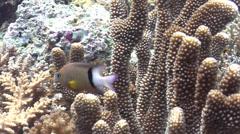 Dick's damsel swimming, Plectroglyphidodon dickii, HD, UP19304 Stock Footage