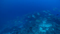 Yellowtail scad swimming and schooling on deep coral reef, Atule mate, HD, Stock Footage