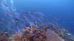 Stock Video Footage of Scissortail fusilier swimming and schooling on shallow coral reef, Caesio