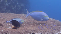 Yellow-mask surgeonfish cleaning and being cleaned, Acanthurus mata, HD, UP19324 Stock Footage