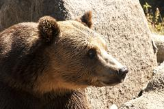 Grizzly bear head right profile - stock photo