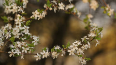 Cherry blossoms in the garden, calm, smell, therapy, natural Stock Footage