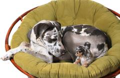 Great Dane and chihuahua dogs Stock Photos