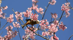 Cute little bird eating nectar of cherry blossom tree Stock Footage