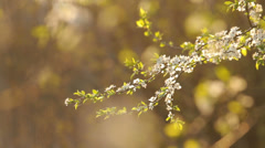 White plum blossoms in the garden, calm, smell, therapy, natural Stock Footage