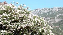 Nerium Oleander Plant Stock Footage