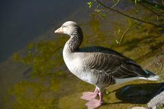 greylag goose standing on riverside - stock photo