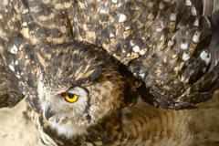 Cape eagle-owl in zoological garden Stock Photos