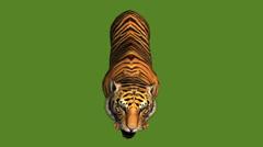 Tiger open mouth roar,wildlife animals habitat. - stock footage