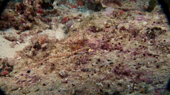 Orange-spotted pipefish hunting, Corythoichthys ocellatus, HD, UP19381 Stock Footage