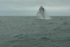 Humpback whale breach in Ecuador 3 Stock Footage