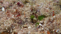 Unidentified smasher mantis shrimp hiding, Gonodactylus sp., HD, UP19389 Stock Footage